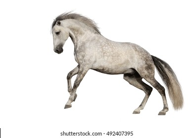 White horse run gallop isolated on white backround