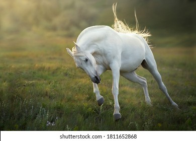 White horse run gallop at sunset sky