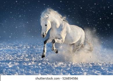 White horse run gallop in winter snow field