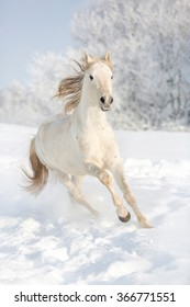White horse running free in snow field.