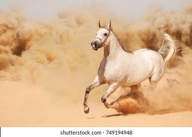 White horse running in the sand of the desert