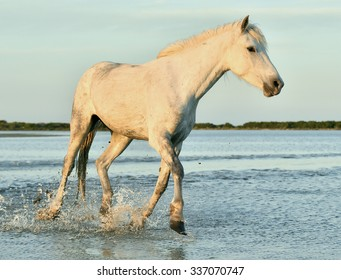 white horse running through water in sunset light. Parc Regional de Camargue - Provence, France