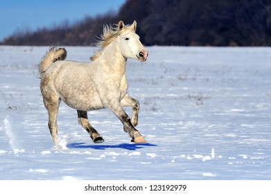 White horse running in winter meadow
