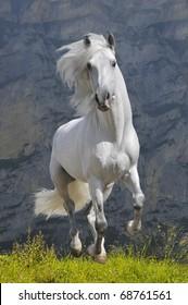 white horse runs gallop in mountain