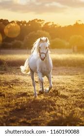 White horse runs gallop on the field in sunset
