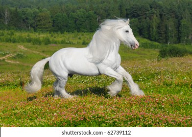 white horse runs gallop on the meadow in summer