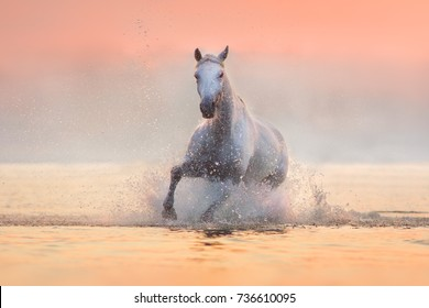 White horse runs gallop through the water with spray at   pink  dawn