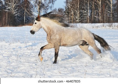 white horse runs gallop in winter