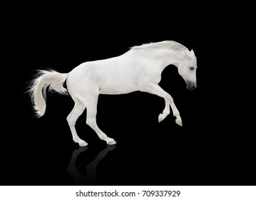 white horse runs isolated on the black background