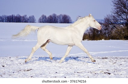 white horse runs in the snow field on the background of purple evening sky