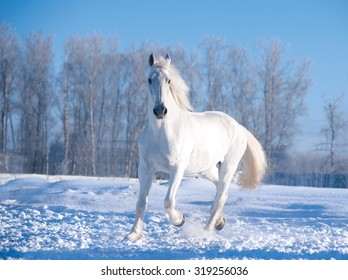white horse runs in sunny winter day