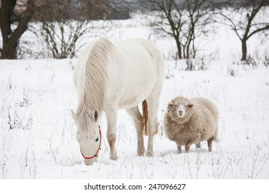 White horse and sheep in winter landscape