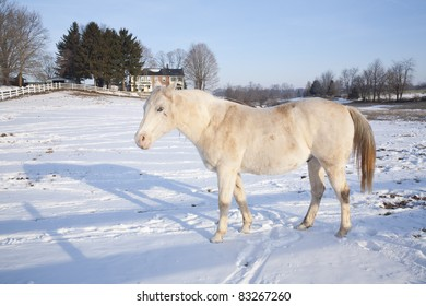 White Horse in Snowy Paddock