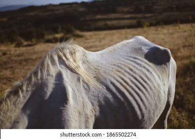 White horse in Spanish field