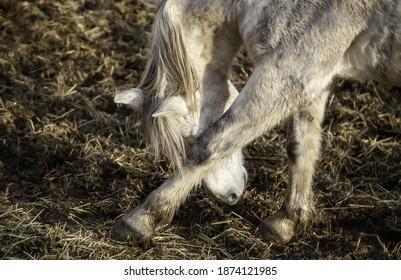 White horse in stable, wild mammal animals