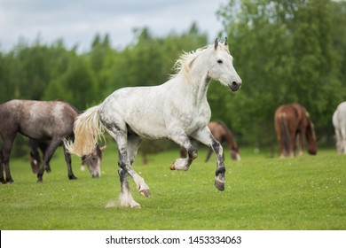 white horse stallion runs gallop summer in the field in a herd of horses