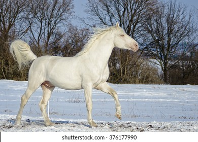 white horse stand in the snow field with on the background of black  trees