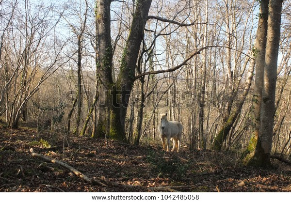 White horse standing in a forest of trees without their leaves in the winter, in Ariege, Pyrenees, South of France