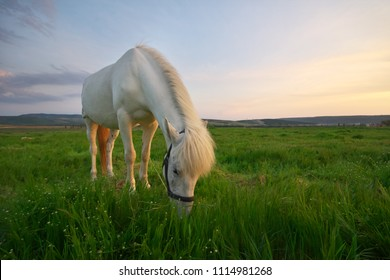 White horse standing on a green field. Nature composition.