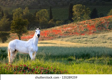 White horse standing in a poppy field in Tuscany in golden evening light