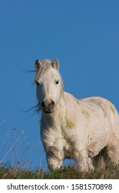 White horse standing at top of a hill with blue sky background