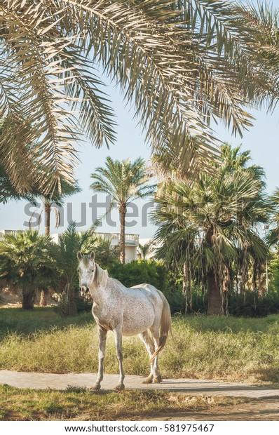 white horse stands on the background of palm trees at sunset.
