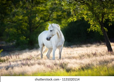 White horse in white stipa grass at sunlight