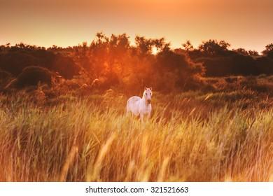 White horse in sunrise shine. National park of Camargue, Bouches-du-rhone region, south France