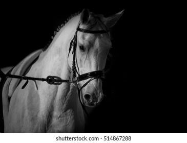 white horse training closeup in monochrome tones