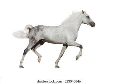 White horse trotting on white background