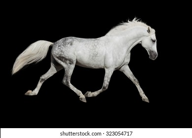White horse trotting on black background