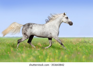 White horse trotting on summer meadow