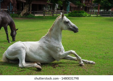 White horse tumble and push up on grass field.