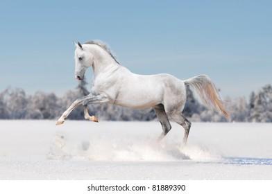 white horse in winter