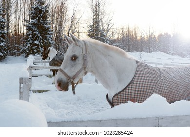 The white horse in winter at sunset. Beautiful face horse thoroughbred on the background of snowy forest.
