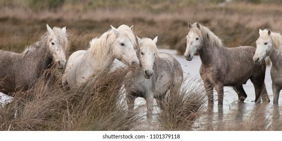White horses of Camargue France
