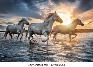 White horses are galloping in the water  all over the sea in Camargue, France.