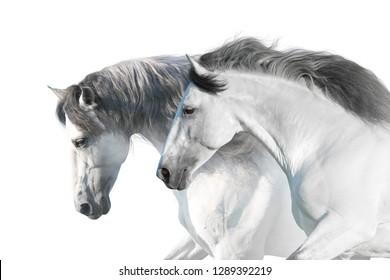 White  horses  portrait with long mane on white background. High key image