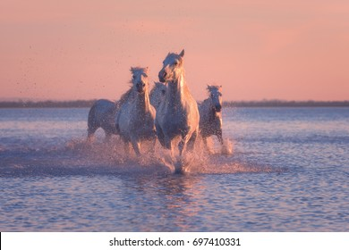 White horses run gallop in the water at soft pink sunset light, National park Camargue, Bouches-du-rhone department, Provence - Alpes - Cote d'Azur region, south France