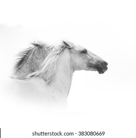white horses running closeup over a white background