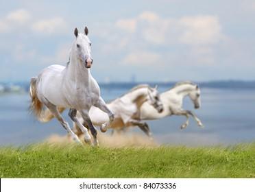 white horses running near water