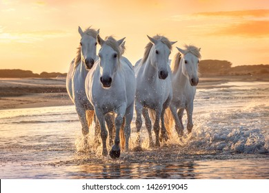 White horses are walking in the water  all over the sea in Camargue, France.