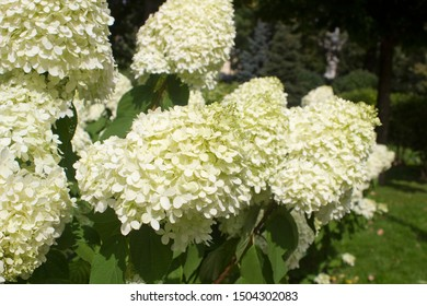 White Hortensia spectacular summer blossom in Moscow