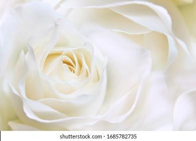 White huge airy rose, macro-festive background for wedding invitation