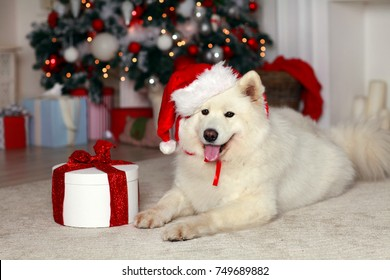 White husk dog sitting near New Year tree with presents