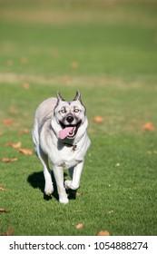 White husky running in the grass