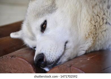 white husky sad in a cage