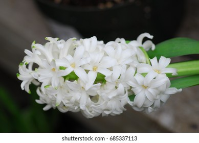 White Hyacinth Amethyst flower in bloom in spring