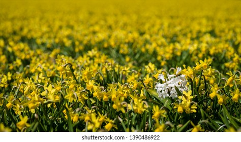 White hyacinth flower growing in a field of yellow daffodils in North Holland, the Netherlands