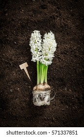 White hyacinth flower and tag on soil background. Spring garden works concept. Poster layout with free text space captured from above (top view, flat lay).